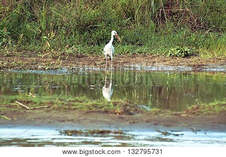 Stork near the water Chitwan National park, Nepal, specie Mycteria leucocephala