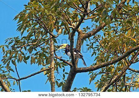 Great hornbill (Great indian hornbill Great pied hornbill) on the tree, Nepal