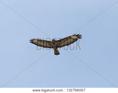 Hawk Gliding On Blue Sky Background