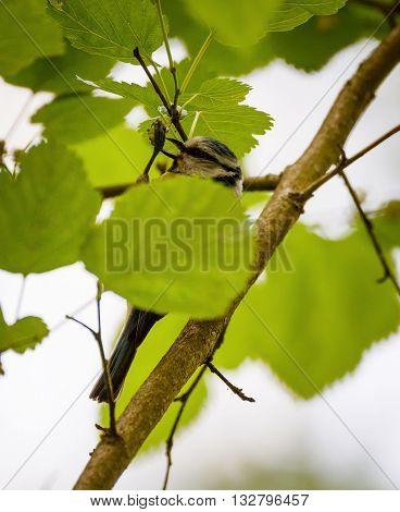 Blue tit (Parus Caeruleus) feeding on a tree
