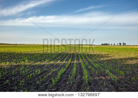 Corn Field Landscape