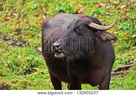 Black buffalo over green grass in Nepal