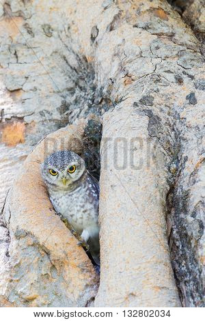 Little Owl in the tree hole, in natural public park of Thailand