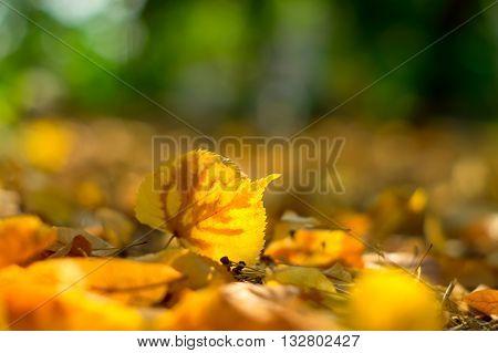 Yellow fallen leaf linden on the ground. Autumn.