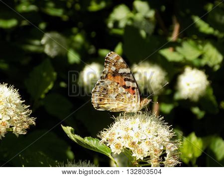 Beautiful day the painted lady butterfly eats nectar