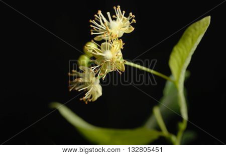 Flowers of linden tree on a black background