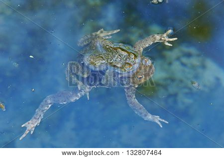 The common toad, European toad, or  simply the toad (Bufo bufo, from Latin bufo