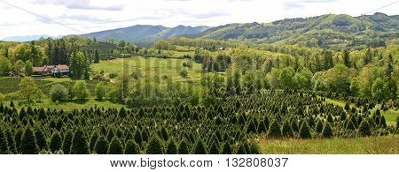 a panorama of Christmas trees growing on the hillsides of the Appalachian mountains