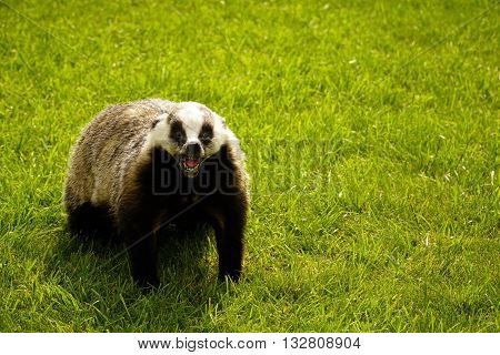 scarecrow badger standing on green grass in sunlight