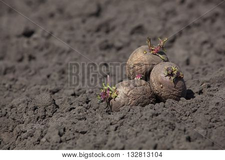 Potato tubers lay on the ground ready for planting.