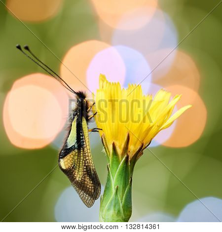 Owly sulphur is an owlfly species it is a rare insect photographed with colored lights in the background