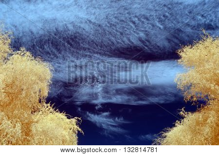 Infra red image of Tree with pale orange leaves against a blue sky filled with white clouds
