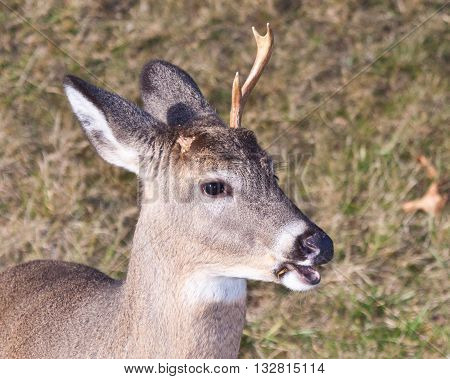 Whitetail buck in the fall with antler missing