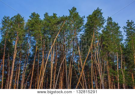 Tall pine trees against the sky. Background.