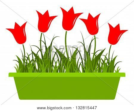 vector tulips in planter isolated on white background