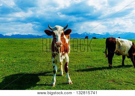 Cow grazing on a beautiful green meadow, with snowy mountains in background