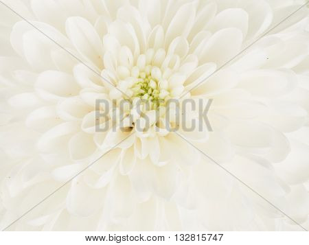 Center fragrant white flower dahlia with beautiful delicate fragile petals and green center