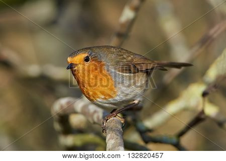 European robin (Erithacus rubecula) sitting on a branch with vegetation in the background
