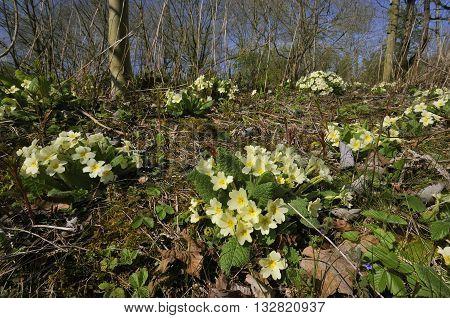 Primrose - Primula vulgaris growing in copised woodland