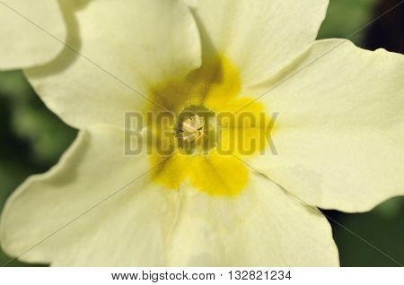 A Primrose - Primula vulgaris  Closeup of single flower