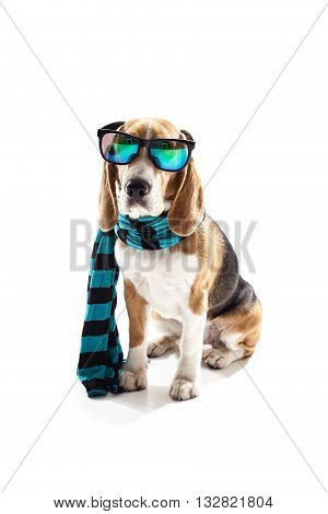 Cute beagle dog is wearing blue scarf and cool sunglasses. He is sitting. Isolated