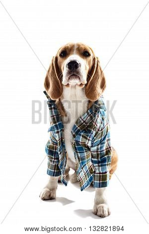 Pretty beagle puppy is sitting in blue shirt. Isolated on background