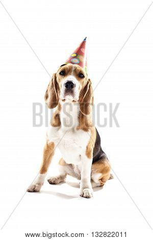Cheerful beagle dog is wearing holiday cone on his head for celebration. Isolated on background