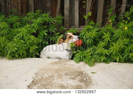 small dog breed the Jack Russell Terrier sits in the bushes of cannabis with a bright ball in her mouth