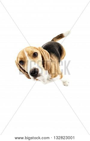 Top view of cute puppy standing and staring at camera with interest. Isolated