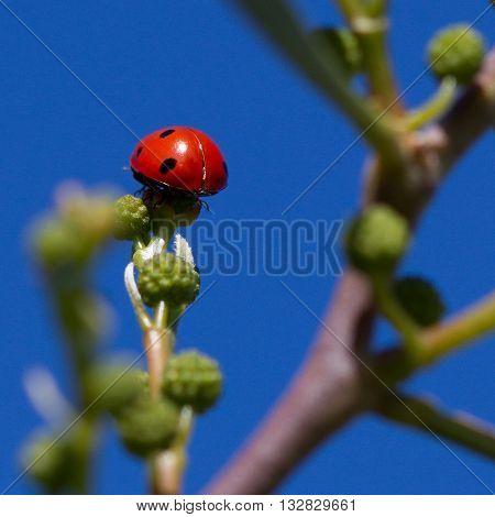 Ladybird On Plant