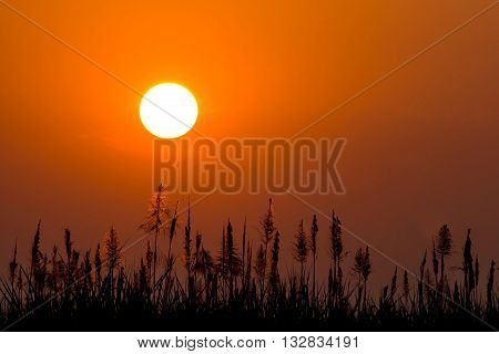 beautiful sunrise with silhouette of sugarcane flowers