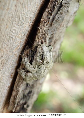 Treefrog On Tree