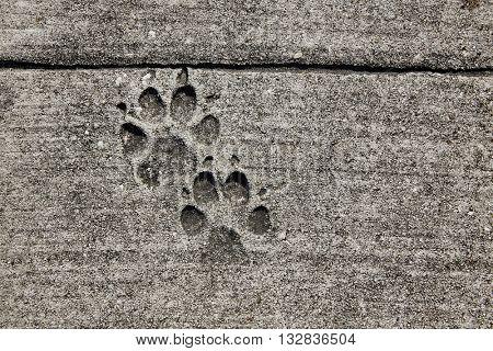 dog footprints printed in sidewalk concrete cement