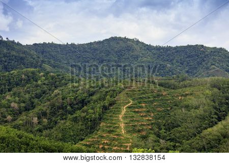 View of Borneo rainforest replaced with oil palm plantation: deforestation environmental problem