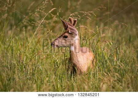 Single Juvenile Deer Standing in Tall Grass