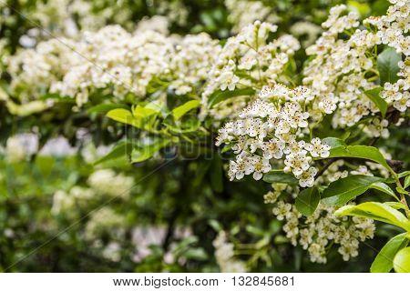 Flowers Blooming Hedge.
