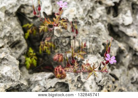 Geranium Robertianum (robertiella Robertiana) - Pink Flower.