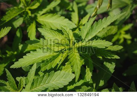 young cannabis bushes under a scorching summer sun