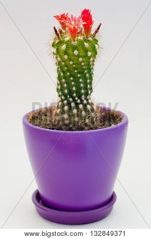 a green blooming cactus in the pot