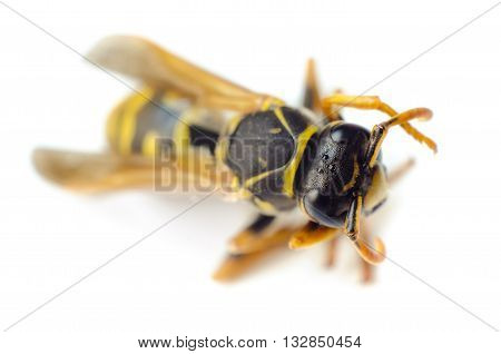 a wasp isolated on a white background