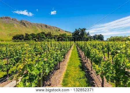 Vineyard landscape - North Island New Zealand