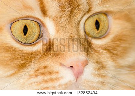 Fragment of a red house cat muzzle with eyes and nose closeup