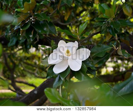 A southern magnolia flower and section of a tree on the campus of University of Houston in the southern state of Texas