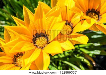 Gazania flowers - yellow daisies with green folliage