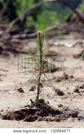 Young pines sapling tree sprout in spring forest under sunlight under closeup view