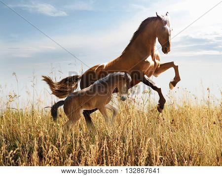 horse teaches young colt gallop through tall grass