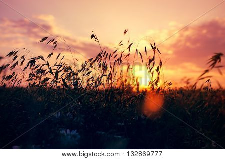 Silhouettes of grass and spikelets in a field at sunset in summer