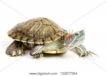 Funny green turtle on parade or walking around isolated on a white background
