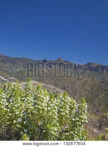 Flora of Gran Canaria - white flowers of Echium decaisnei Roque Nublo in the background