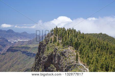 Gran Canaria hiking route Cruz de Tejeda - Artenara canarian pine trees on Montana de Artenara